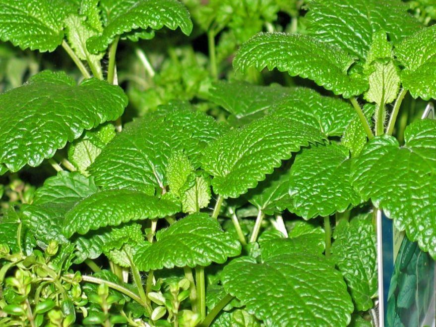 Фото травянистого растения - мяты