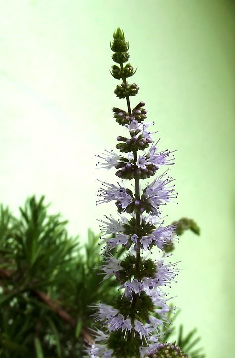 Фото перечной мяты, обладающей лечебными свойствами
