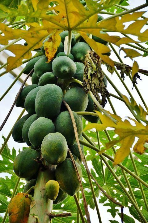 Фото полезного фрукта папайи