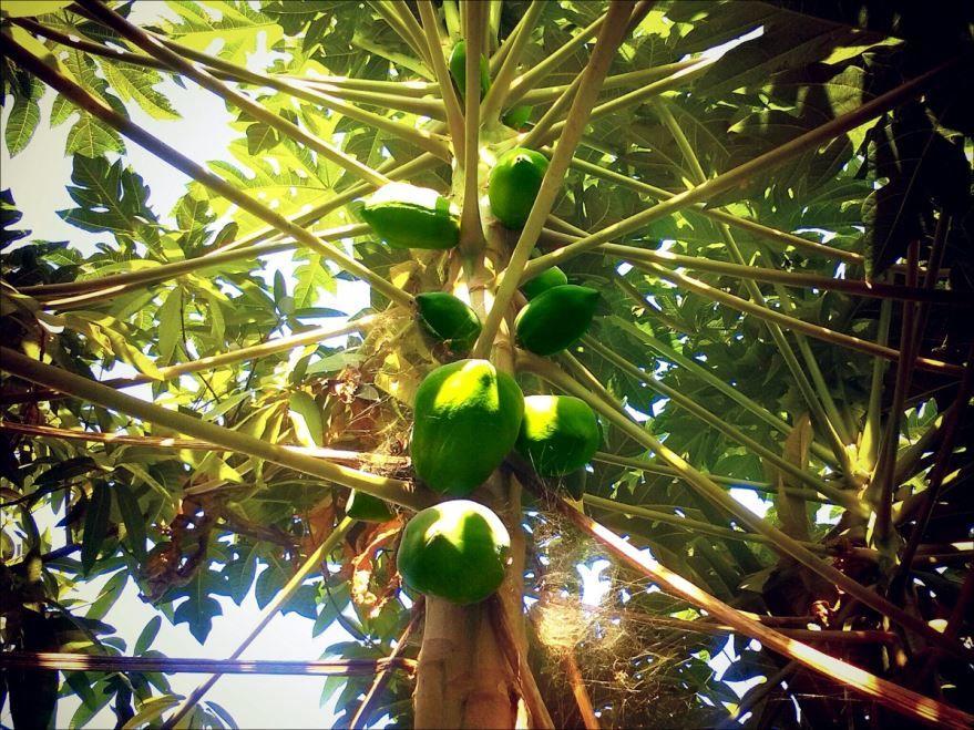Лучшие фото папайи бесплатно