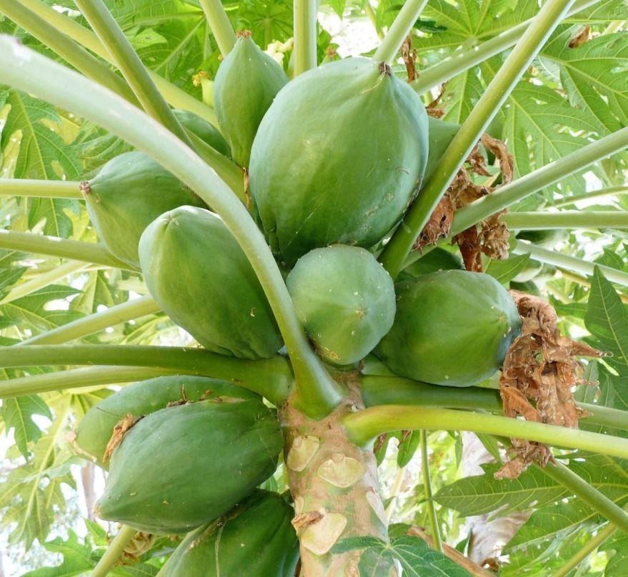 Фото полезного фрукта папайи для организма
