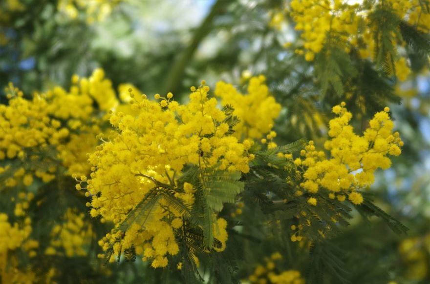 Лучшие картинки растения мимозы