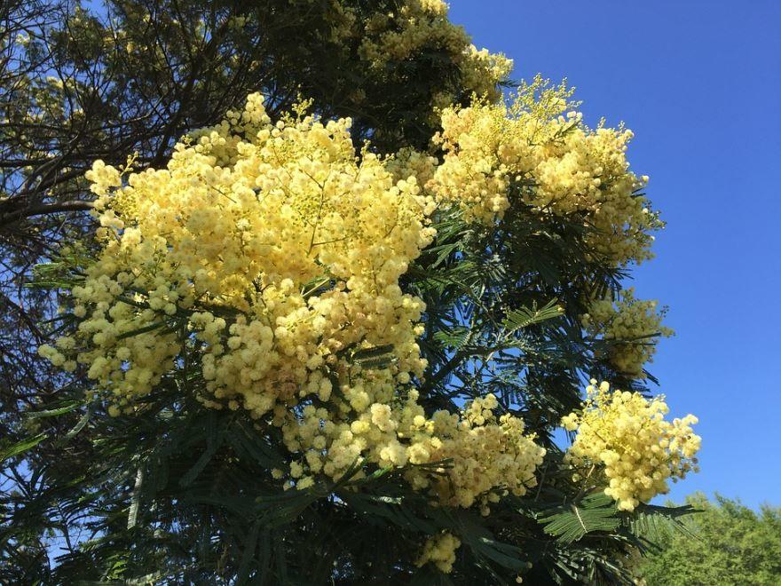 Фото цветков мимозы бесплатно