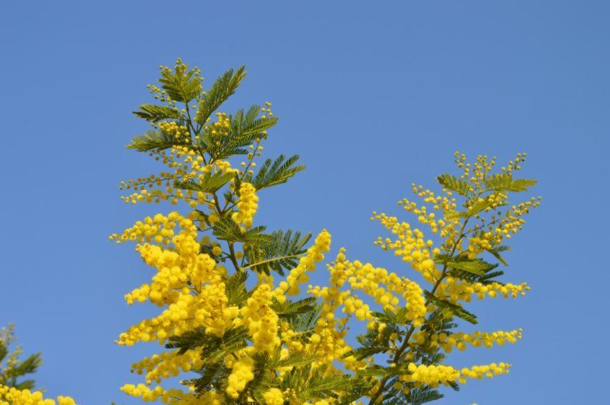 Фото красивого цветка мимозы для букета