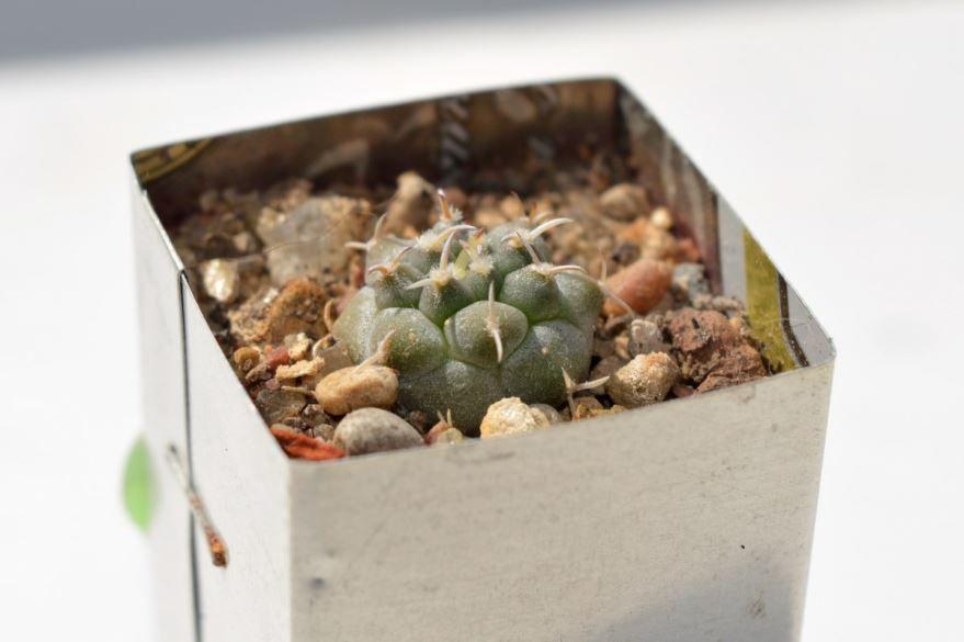 Фото и картинки домашних кактусов