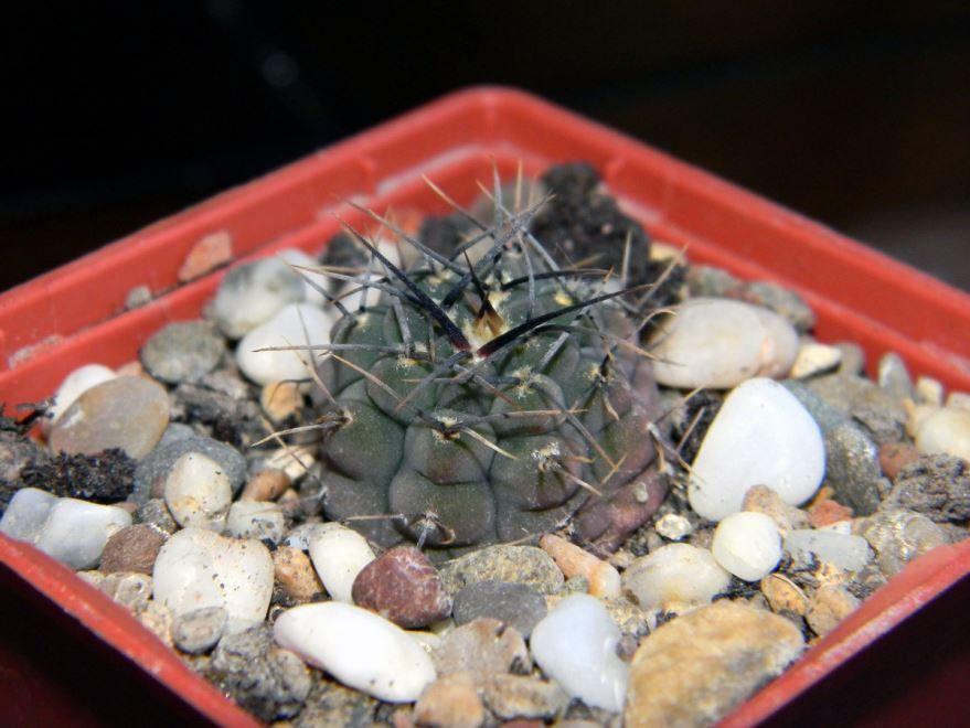 Уход за домашними кактусами прост, поливайте 1 раз в день