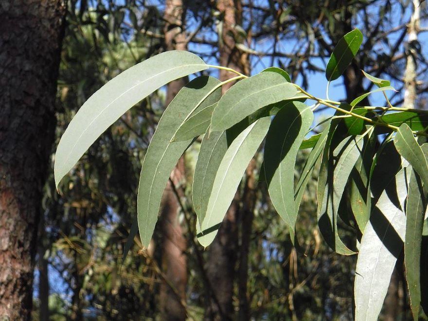 Фотографии листьев эвкалипта бесплатно