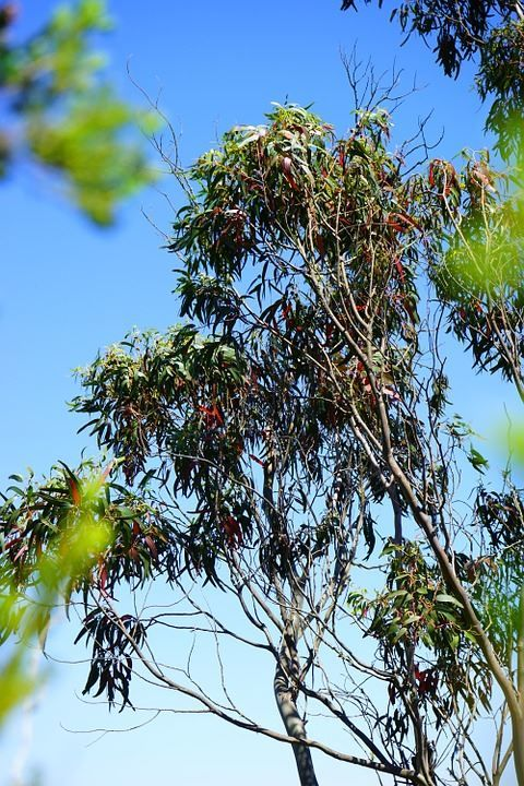 Фото и картинки дерева эвкалипта