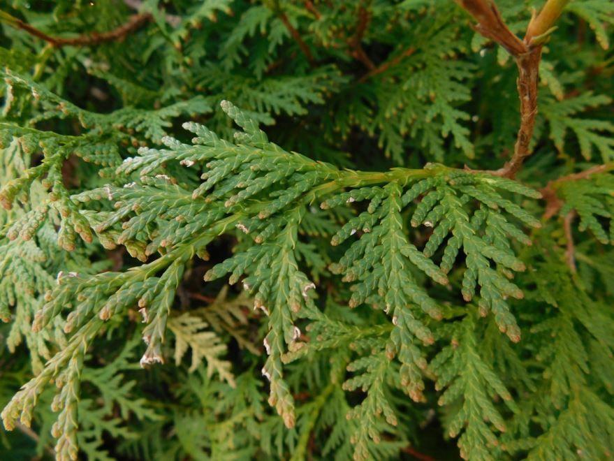 Фотографии растения туи в хорошем качестве