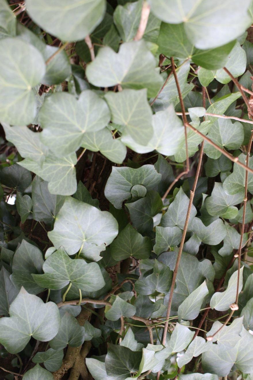 Фото растения плюща в хорошем качестве