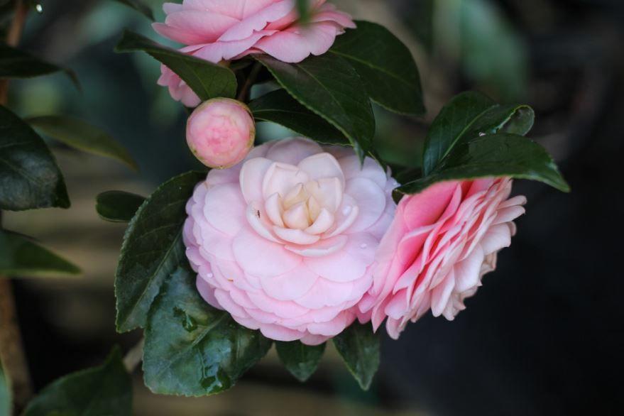 Лучшие фото цветков камелии бесплатно