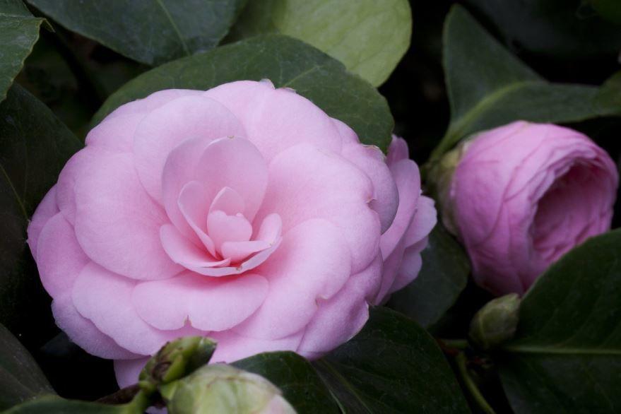 Фото цветков камелии, которые можно купить в цветочном магазине