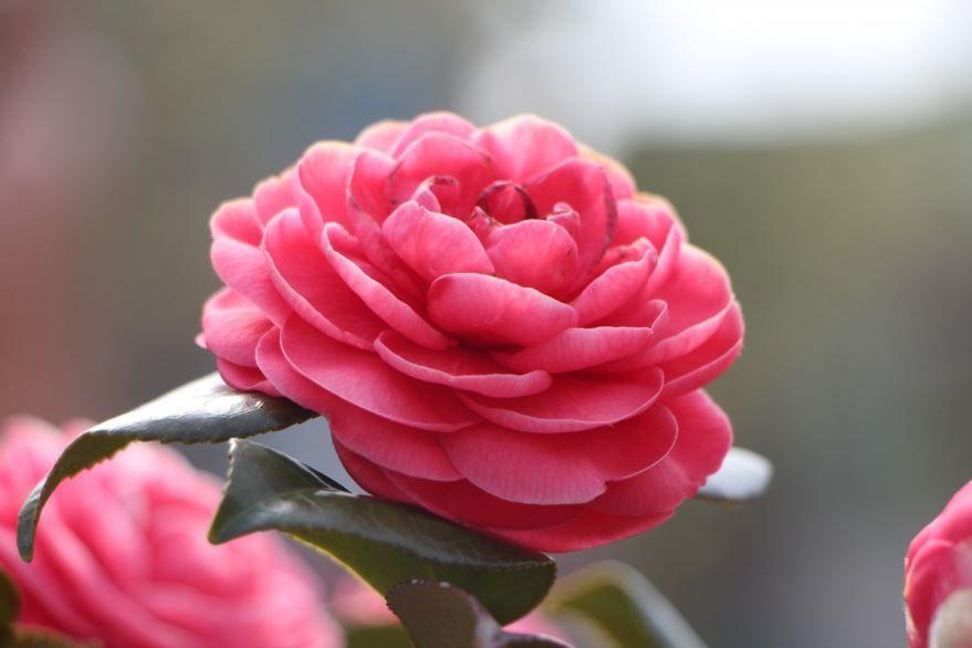 Красивые цветки растения камелии бесплатно