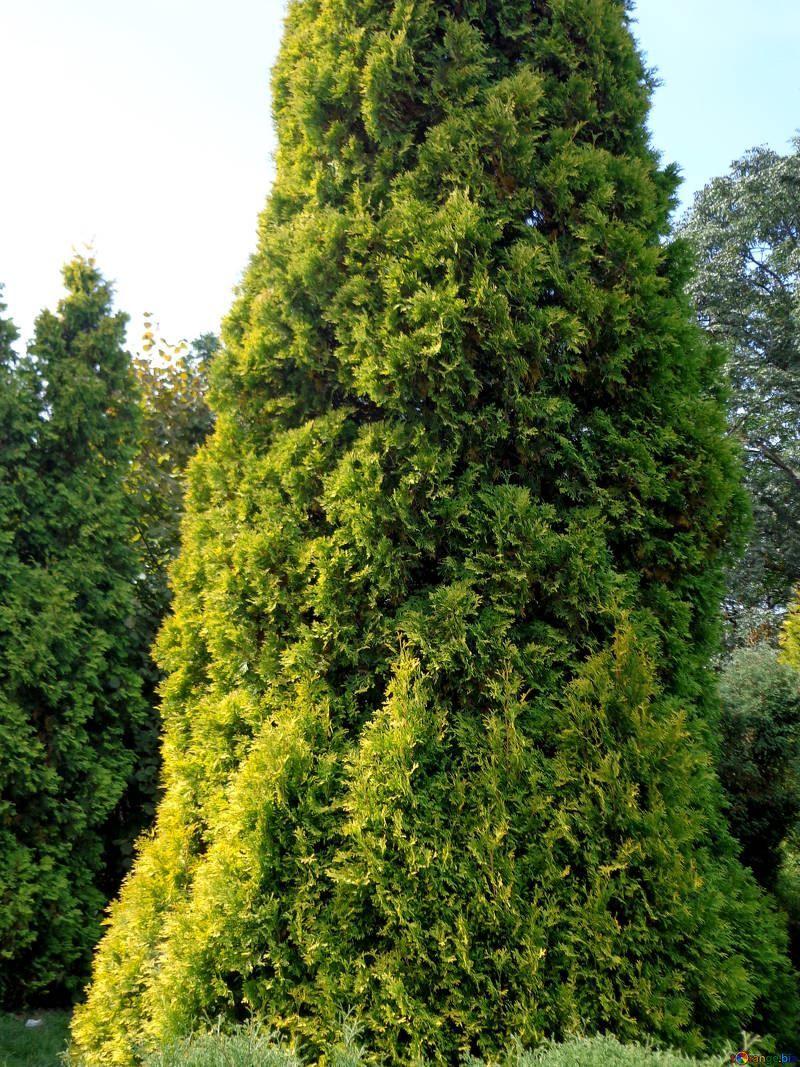 Фотографии дерева кипариса бесплатно