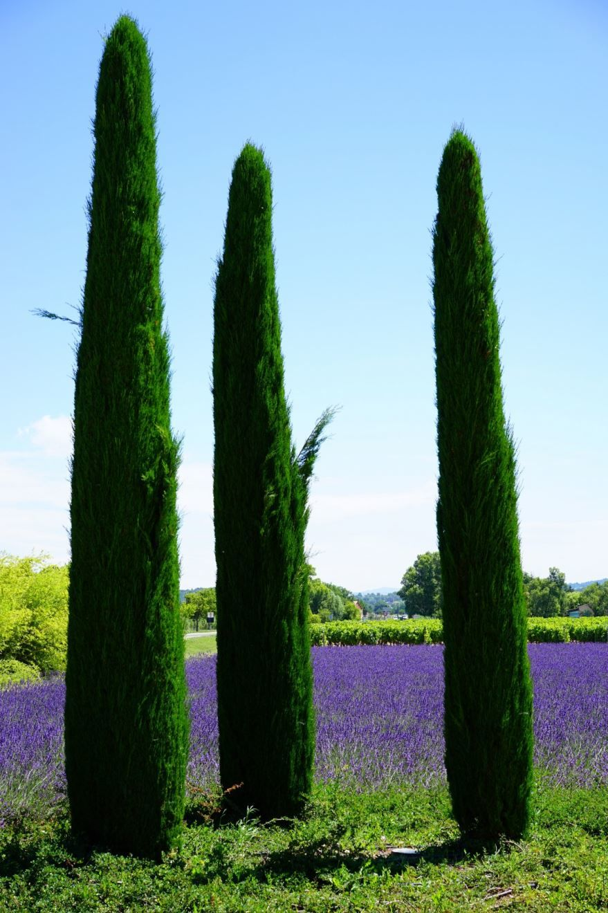 Лучшие картинки кипариса, вечнозеленого растения