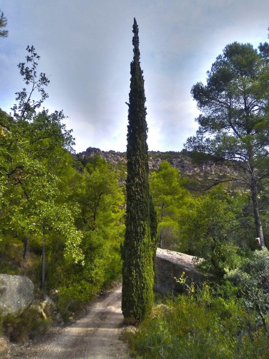 Фото вечнозеленого кипариса в хорошем качестве