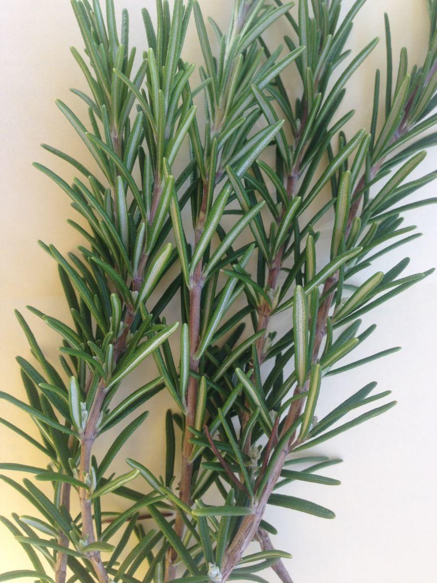 Фото растения розмарин, обладающего лечебными свойствами