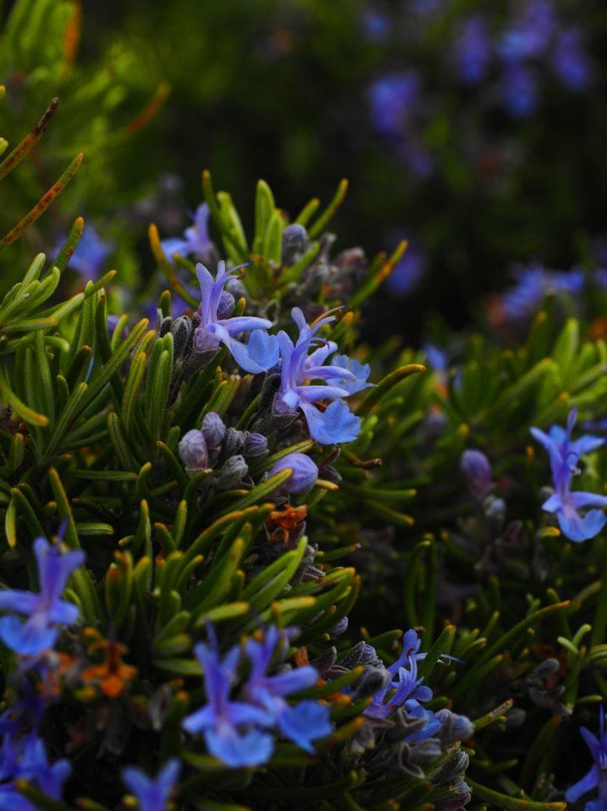 Фото выращенных в домашних условиях растений розмарина