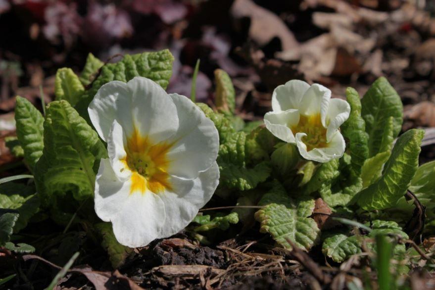 Лучшие картинки садовой, вечерней примулы, цветущего растения