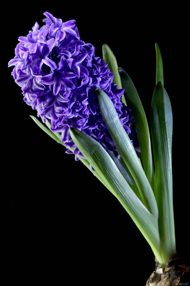 Фото цветков гиацинтов, которые сажают в открытый грунт