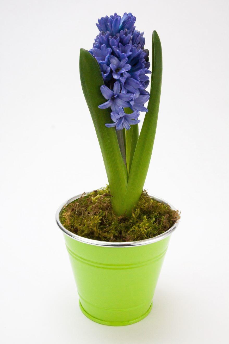 Лучшие картинки растения гиацинт бесплатно