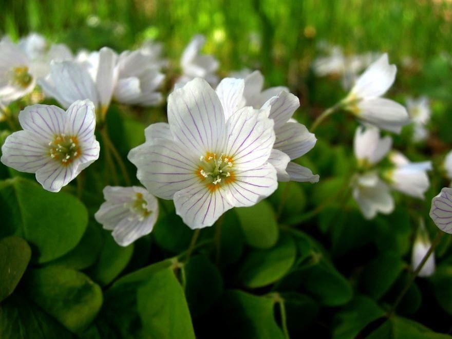 Фото кислицы, красивых цветов белого цвета
