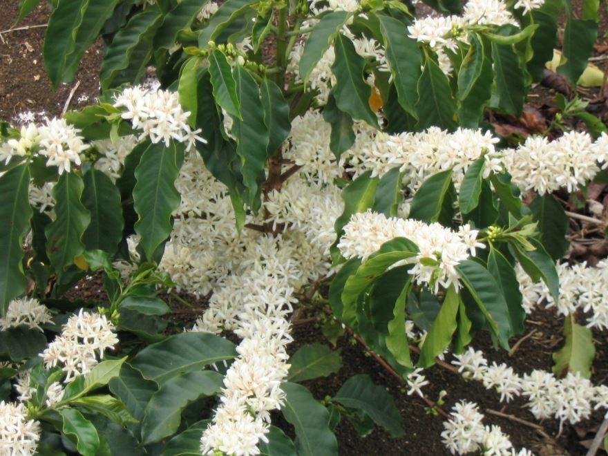 Фото кофейного дерева, которое можно выращивать в домашних условиях