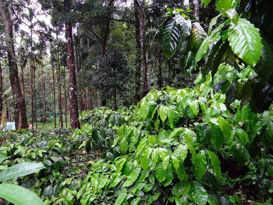 Бесплатные фотографии цветущего кофейного дерева
