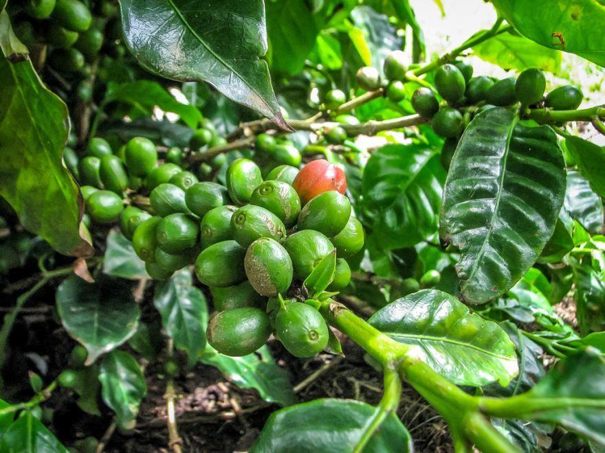 Фото кофейного дерева, обладающее полезными свойствами