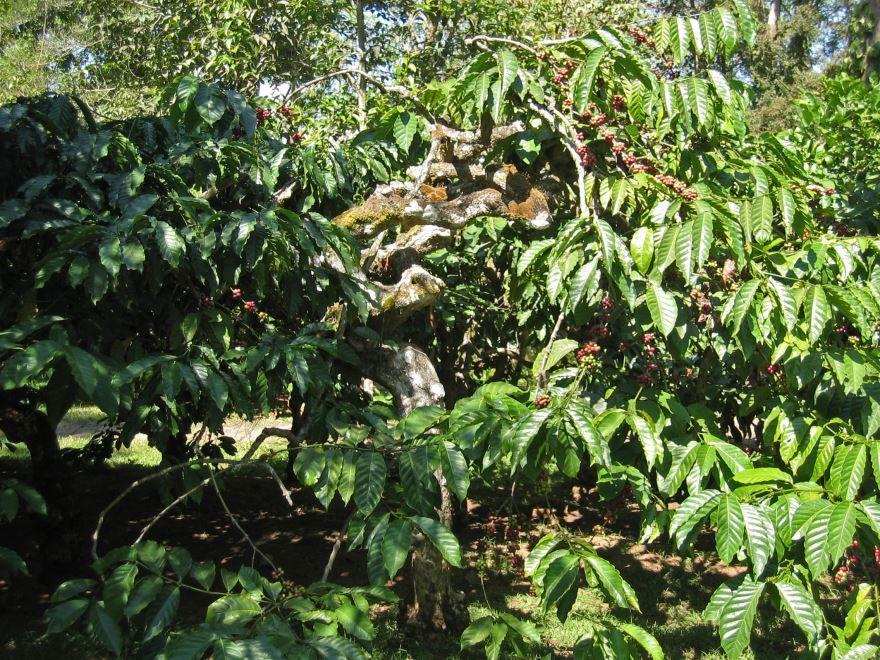 Картинки и фото кофейного дерева онлайн