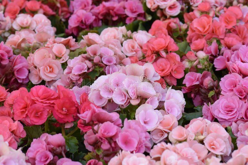 Фото цветущего, садового каланхоэ