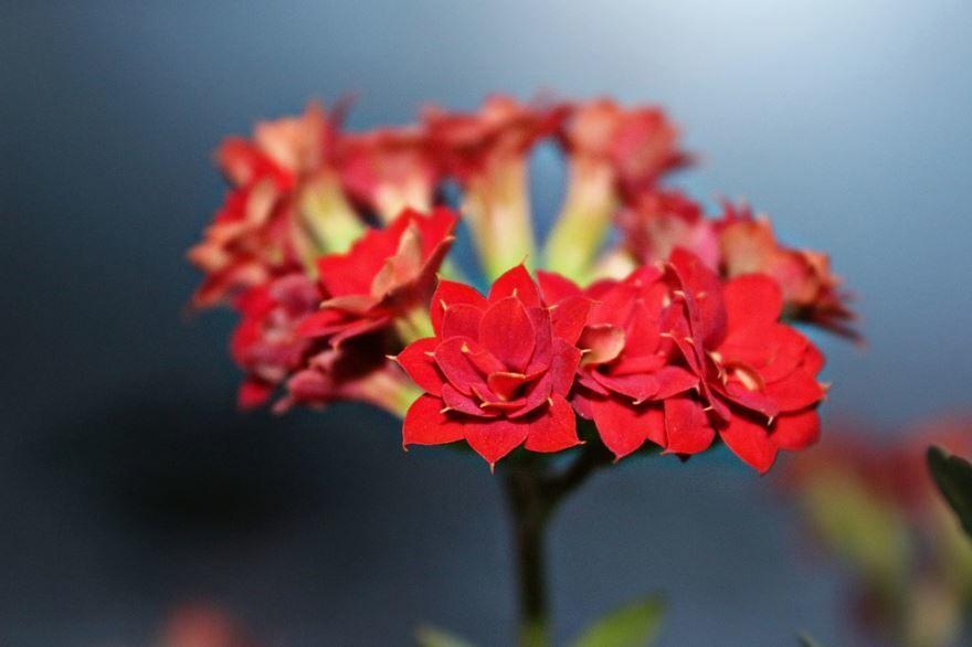 Фото лечебного растения, цветущего каланхоэ