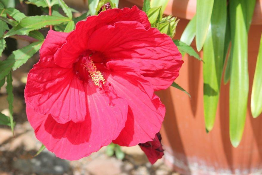 Фото цветущего, садового гибискуса
