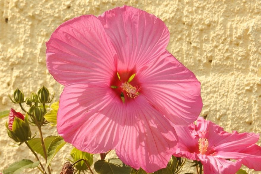 Фото лечебного, травянистого растения, цветущего гибискуса