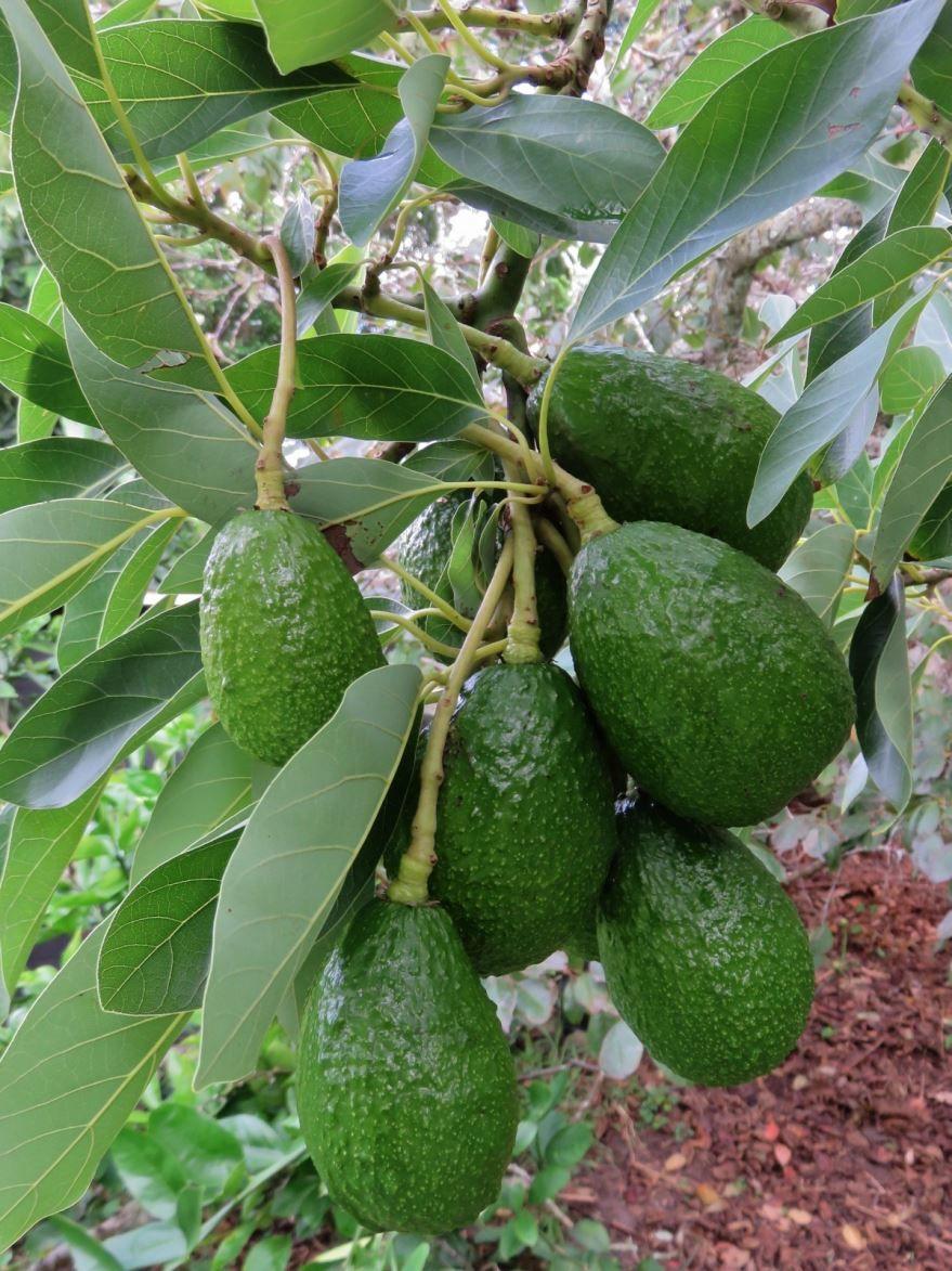 Вкусный фрукт фейхоа, с которым есть много интересных рецептов