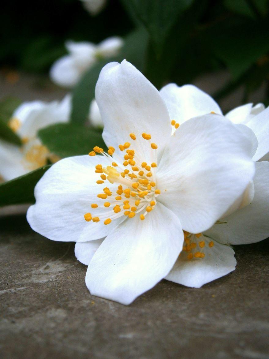 Жасмин картинки цветок