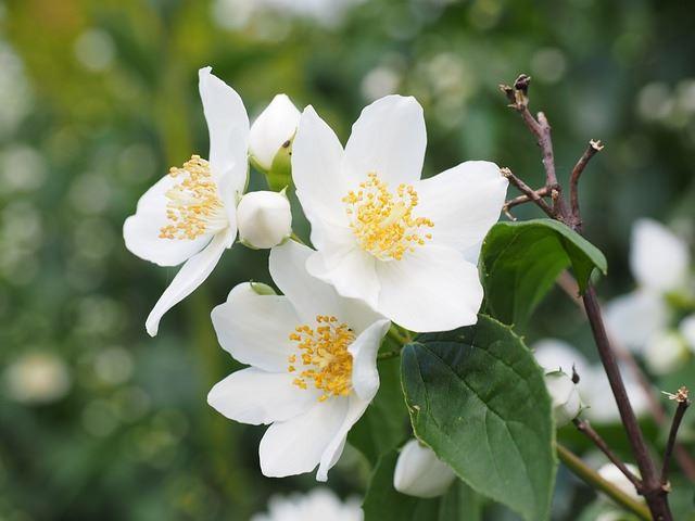 Смотреть фото цветущего растения жасмина бесплатно