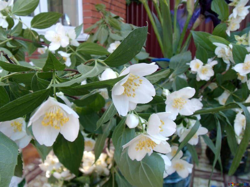 Фото белых цветков жасмин, обладающего полезными свойствами