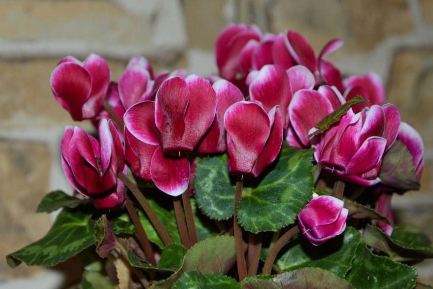 Фото цветка цикламена в домашних условиях онлайн