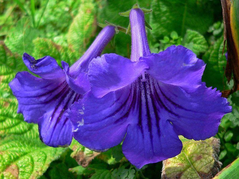 Картинки и фото цветков стрептокарпуса бесплатно
