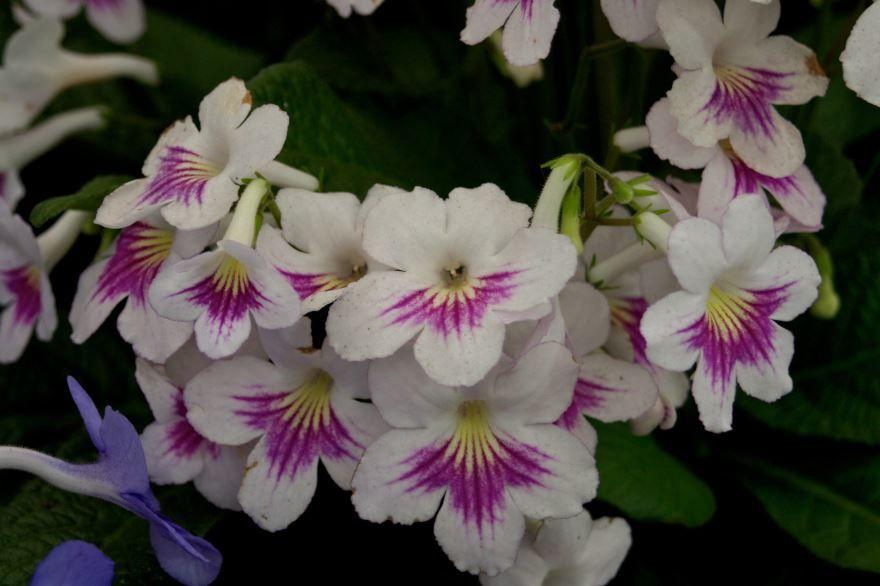 Фото красивых цветов стрептокарпуса