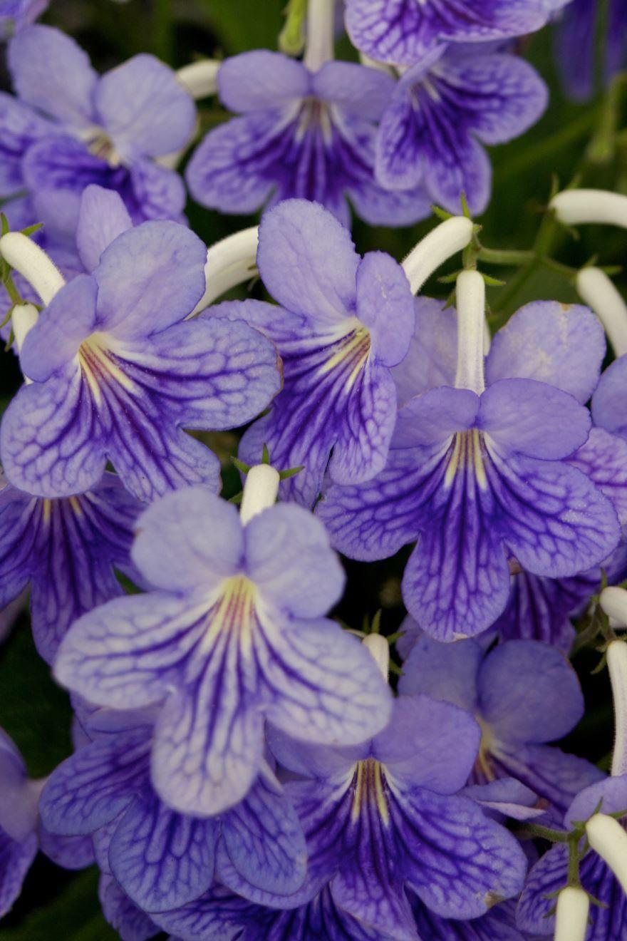 Уход за цветами стрептокарпуса сложен