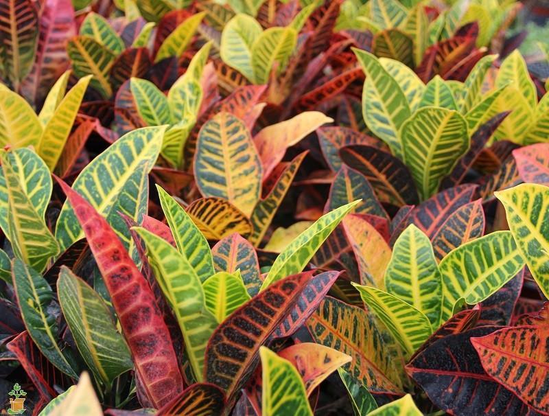 Купить фото растения кротона? Скачайте бесплатно