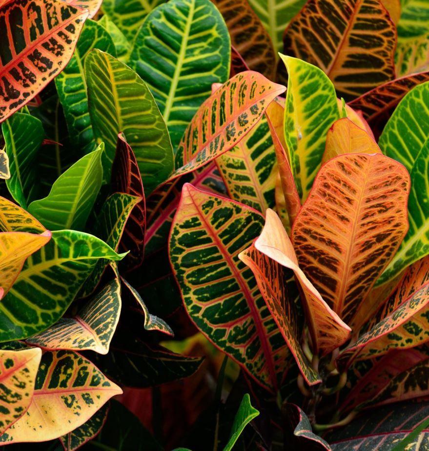 Уход за растением кротона сложен