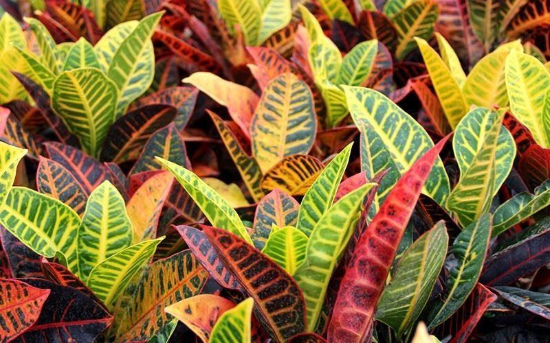 Картинки и фото растения кротона бесплатно