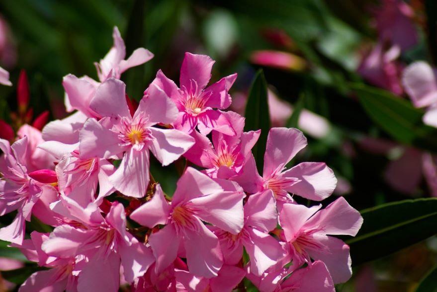 Купить фото цветков олеандра? Скачайте бесплатно