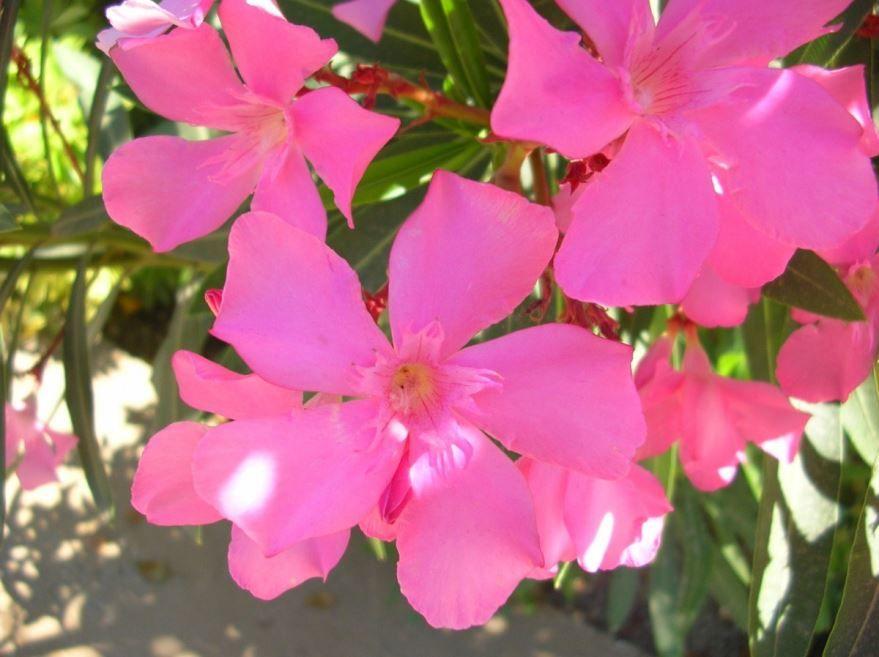 Сложный уход за цветками олеандра