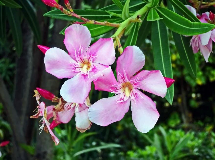 Фото белого цветка олеандра бесплатно