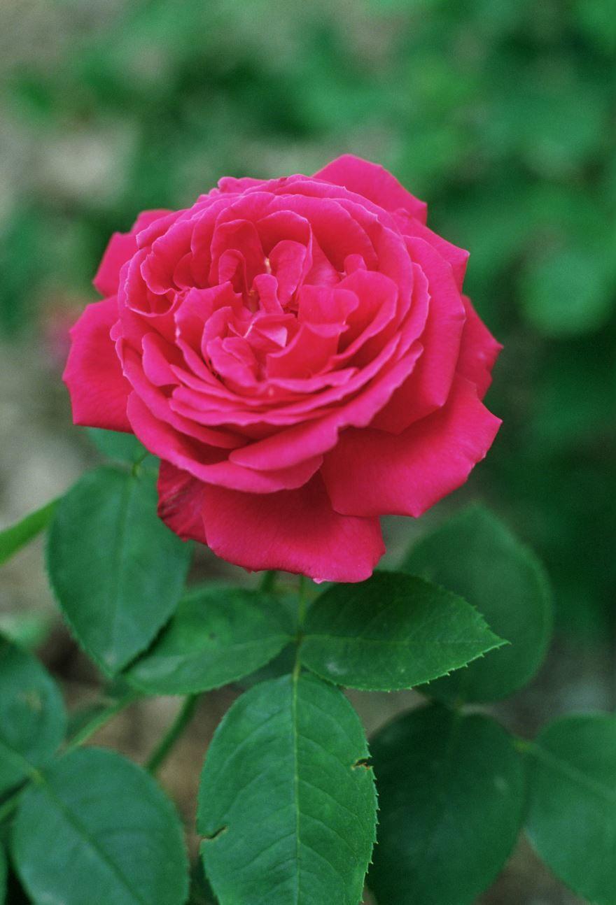 Скачать фото и картинки роз в хорошем качестве