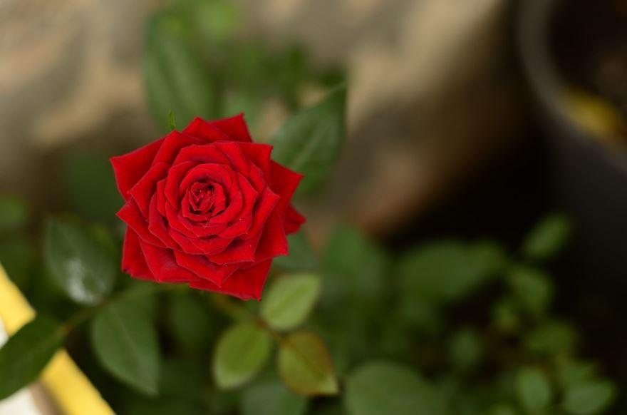 Лучшие фотографии кустовой розы бесплатно